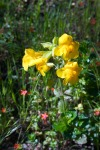 Common Monkeyflower and Scarlet Pimpernel