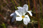 Large-Flowered Linanthus